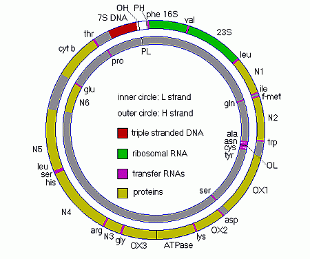 1cellstructure in addition other enzymes responsible for amino acid synthesis fatty acid oxidation and dna rna and protein metabolism are also found ccuart Image collections
