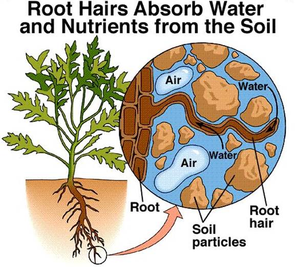 of root showing relationship hair and soil water budget