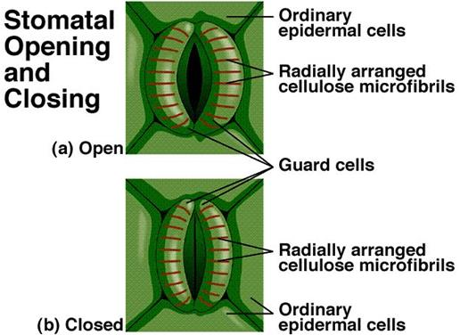 stomata structure and functions