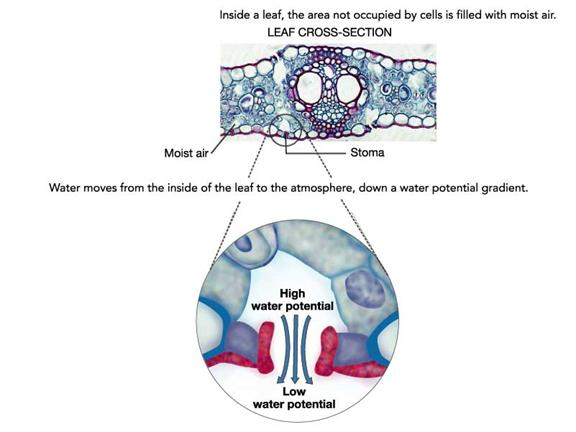 relationship plant cell water