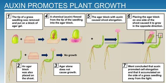 the importance of auxins in plant growth and root formation Regulation of plant growth by cytokinin having a profound influence on the formation of roots and shoots and an important role for cytokinins in plant growth.