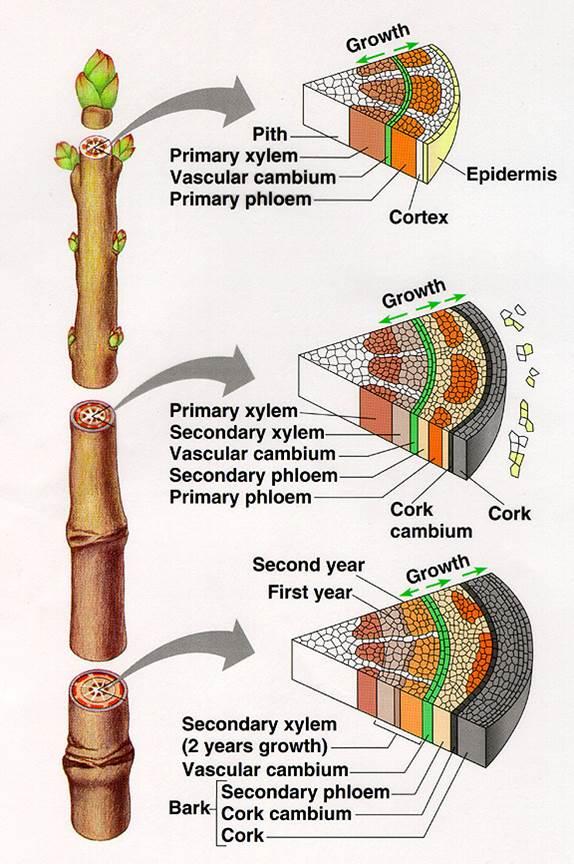 2 Plant Anatomy